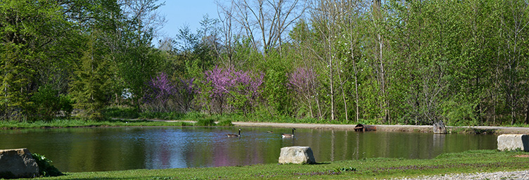 geese at coronation with flowering trees behind
